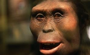 Lucy the Australopithecus